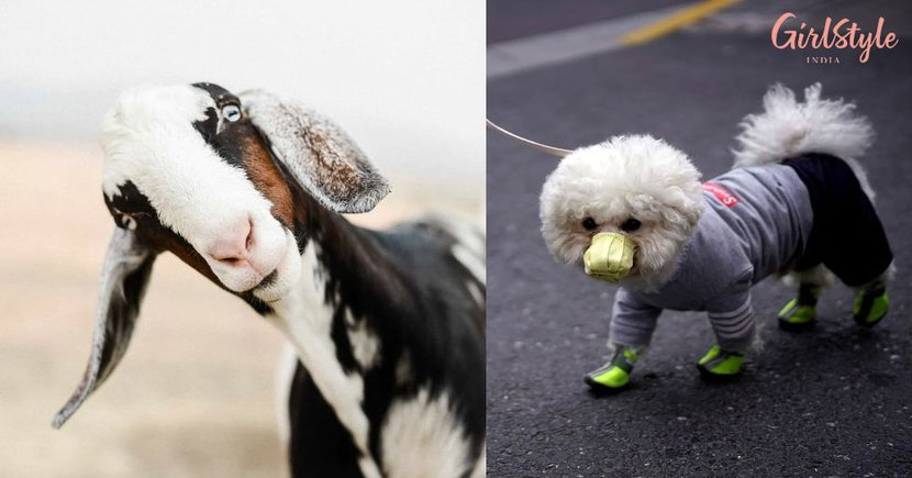 Goat Arrested In UP For Not Wearing Mask? Are You Thinking What We're Thinking?